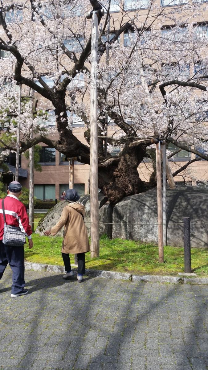 盛岡 石割桜!!