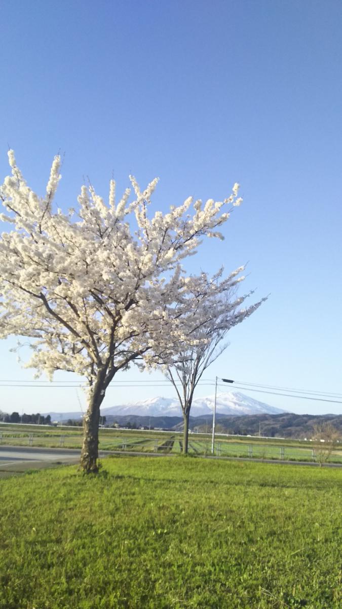 鳥海山&桜のコントラスト